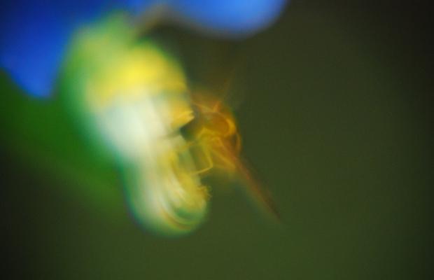 ムサラサキツユクサ+ミツバチ