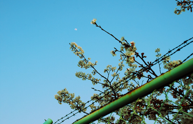 有刺鉄線と桜と月