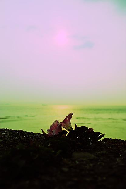 海辺の夕顔 width=