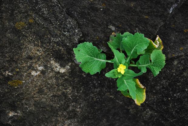 岩に菜の花