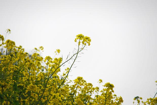 天に咲く菜の花