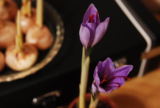 開花間近の紫サフラン