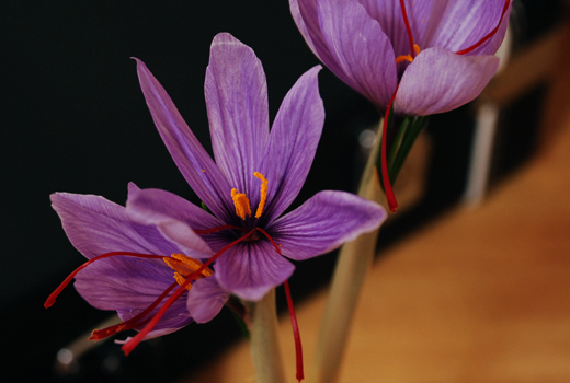 紫サフランの花開く