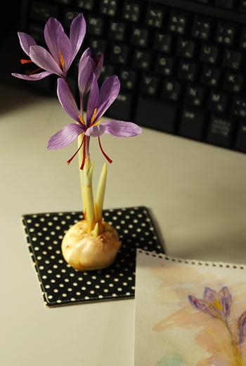 「サフランが咲きました」という書き出しでふいに手紙を書きたくなりぬ